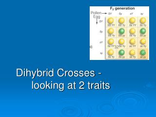 Dihybrid Crosses -                       	looking at 2 traits