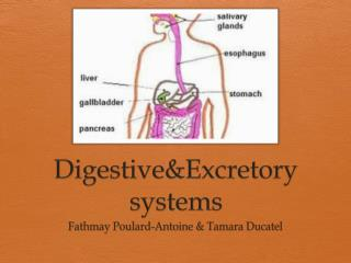 Digestive&Excretory systems
