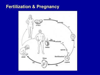 Fertilization & Pregnancy