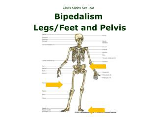 Class Slides Set 15A Bipedalism Legs/Feet and Pelvis