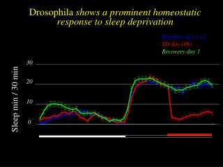 Drosophila  shows a prominent homeostatic response to sleep deprivation