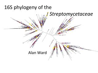 16S phylogeny of the    Streptomycetaceae
