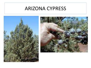 ARIZONA CYPRESS
