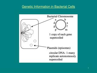 Genetic Information in Bacterial Cells