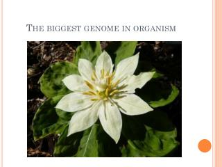 The biggest genome in organism