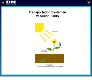 Transportation System in  Vascular Plants