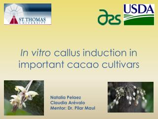 In vitro  callus induction in important cacao cultivars