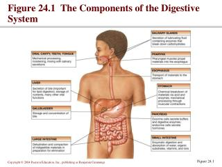 Figure 24.1  The Components of the Digestive System