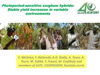 Photoperiod-sensitive sorghum hybrids: Stable yield increases in variable environments