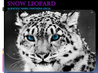 Snow Leopard scientific name: Panthera uncia