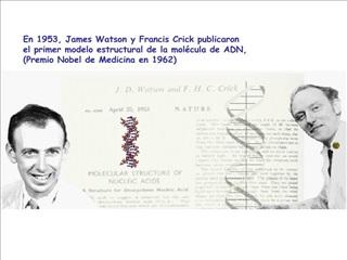 En 1953, James Watson y Francis Crick publicaron  el primer modelo estructural de la mol cula de ADN,  Premio Nobel de M