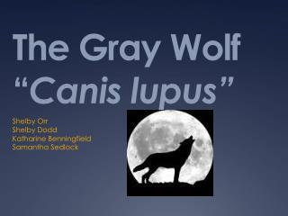 "The Gray Wolf "" Canis  lupus"""