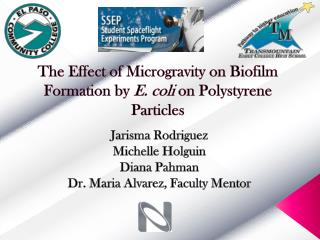 The Effect of Microgravity on Biofilm Formation by  E. coli  on Polystyrene Particles