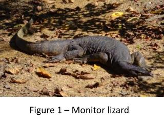 Figure 1 – Monitor lizard