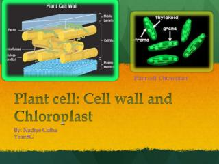 Plant cell: Cell wall and Chloroplast