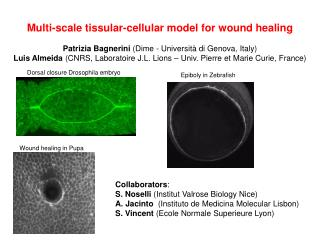 Multi- scale tissular -cellular model for  wound healing