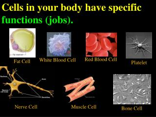 Cells in your body have specific  functions (jobs).