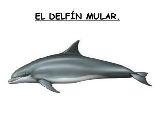 EL DELFÍN MULAR.