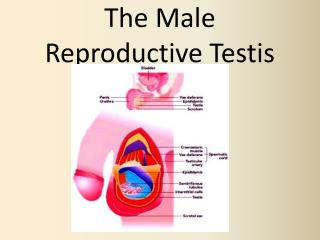 The Male Reproductive Testis