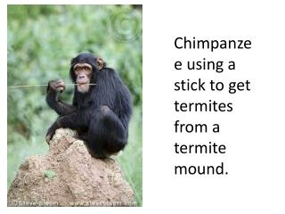 Chimpanzee using a stick to get termites from a termite mound.