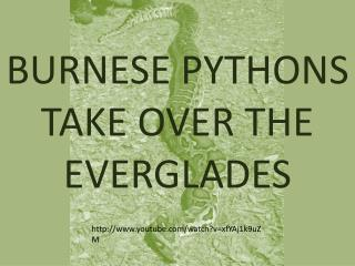 BURNESE PYTHONS TAKE OVER THE EVERGLADES