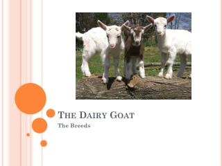 The Dairy Goat