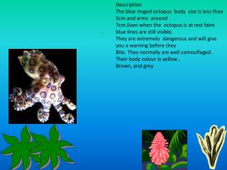 Description The blue ringed octopus body size is less than 5cm and arms around