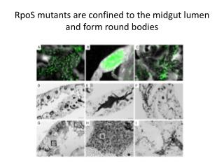 RpoS mutants are confined to the midgut lumen and form round bodies