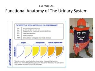 Exercise 26  Functional Anatomy of The Urinary System