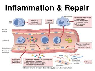 Inflammation & Repair