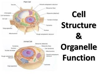 Cell Structure & Organelle Function