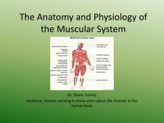 The Anatomy and Physiology of the Muscular System
