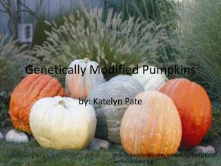 Genetically Modified Pumpkins