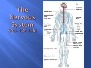 The Nervous System (Pgs. 184-196)
