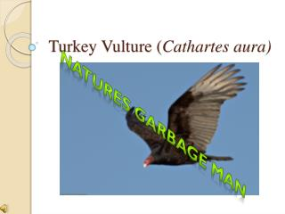 Turkey Vulture ( Cathartes aura)