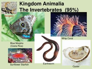 Kingdom Animalia The Invertebrates  (95\%)