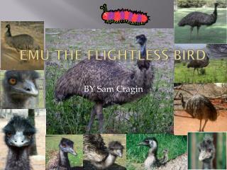 EMU THE FLIGHTLESS BIRD