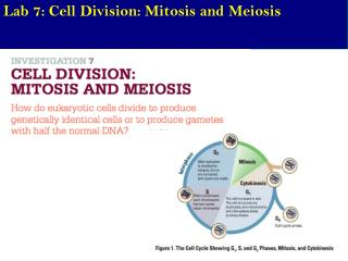 Lab  7: Cell Division: Mitosis and Meiosis