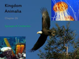 Kingdom  Animalia