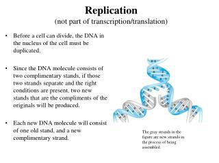 Replication (not part of transcription/translation)