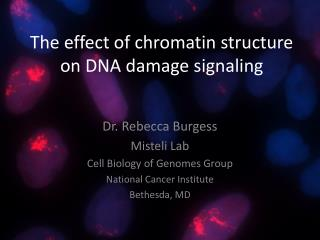 The effect of chromatin structure on DNA damage signaling