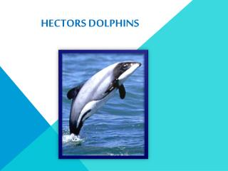 Hectors Dolphins