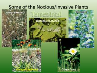 Some of the Noxious/Invasive Plants