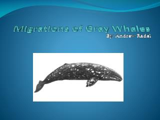 Migrations of Gray Whales