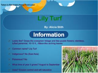 Lily Turf By: Alicia Stith