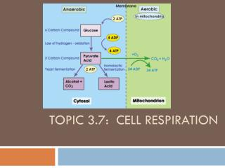 Topic 3.7:  Cell Respiration