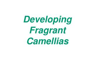 Developing Fragrant Camellias