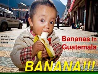 Bananas  in  Guatemala