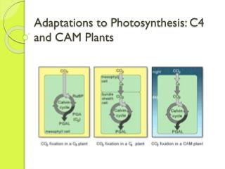 Adaptations to  Photosynthesis: C4 and CAM Plants