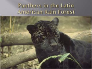 Panthers in the Latin American Rain Forest